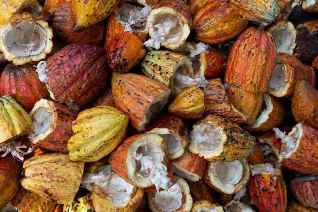 Le varietà botaniche del cacao