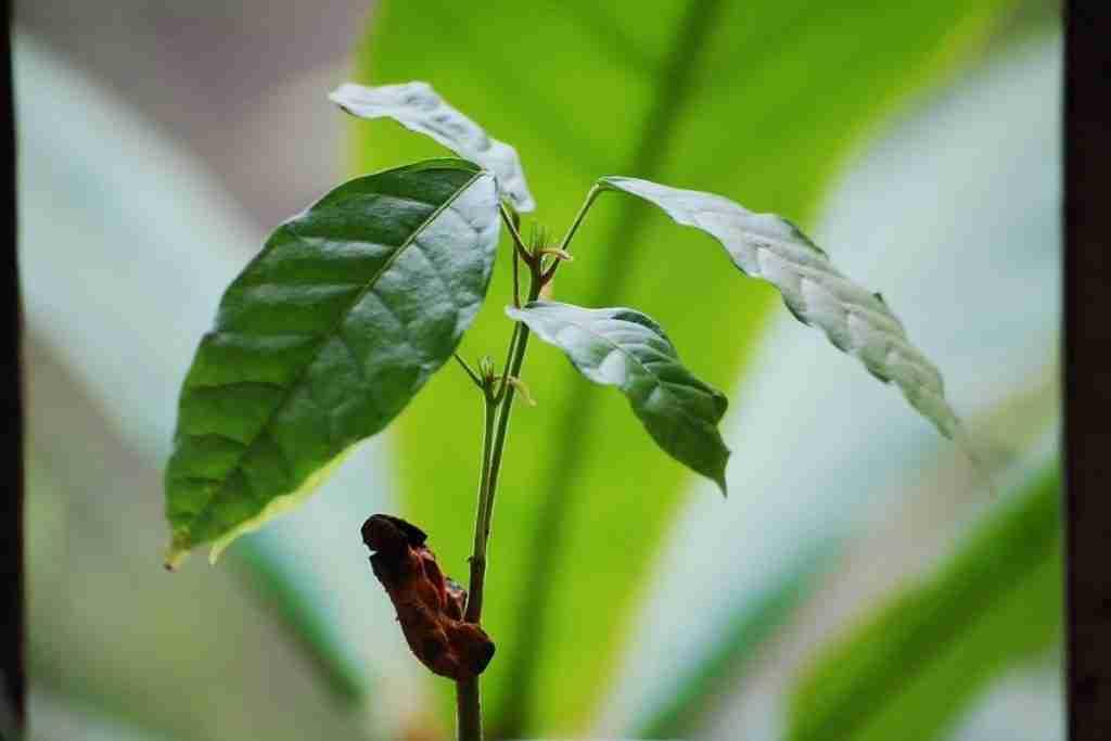 Come si coltiva l'albero di cacao
